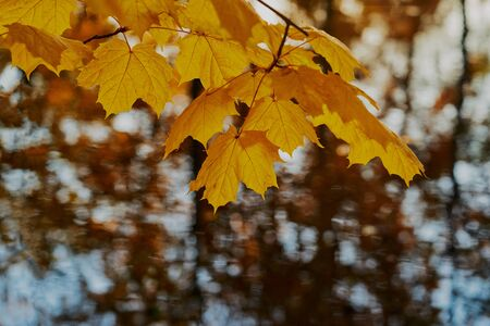 beautiful autumn landscape with maple branch and yellow leaves closeup in the foreground Reklamní fotografie