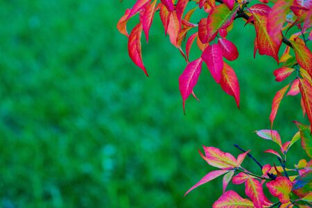 Abstract red leaves on a branch of the plant closeup on a blurred green background for the autumn landscape 写真素材