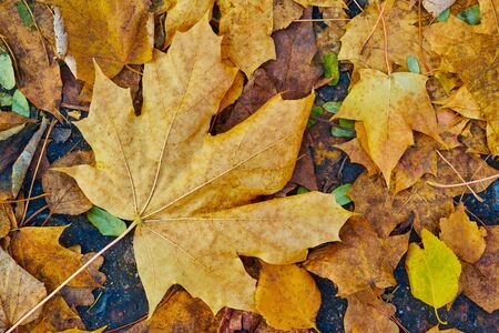 Autumn maple foliage closeup for abstract natural background or for wallpaper 写真素材