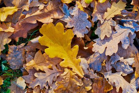 Autumn oak foliage closeup for abstract natural background or for wallpaper 写真素材