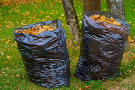 Two large plastic garbage bags filled with fallen autumn foliage and located on the lawn