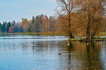 Autumn landscape of a large lake or river with waterfowl and trees with autumn foliage on shore