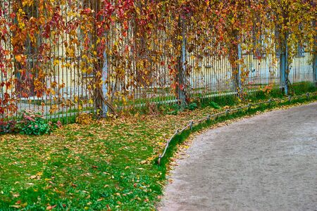 Autumn landscape part of the park with wild or ornamental vineyard plants on an old metal fence and sandy pavement or footpath
