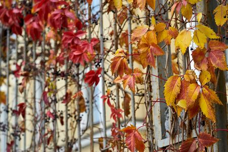 Wild or ornamental autumn vineyard plants on the old metal fence closeup