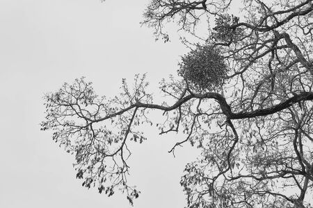Abstract old tree with ball-shaped leaves on curved branches in a monochrome tone amid the sky