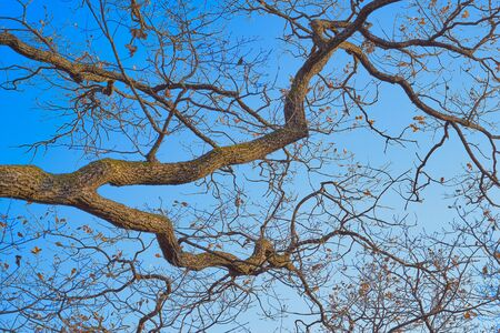 Large abstract curves of branches of old oak without leaves against the background of blue sky