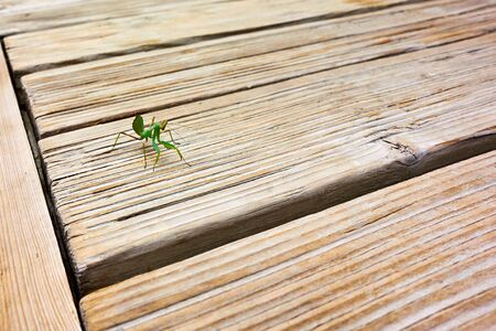 one small mantis insect on wooden board for abstract natural and textured background