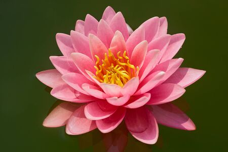 one large flower of pink lily closeup on an empty background of green water