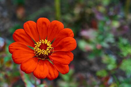 one simple and beautiful flower of red color closeup against a blurred background