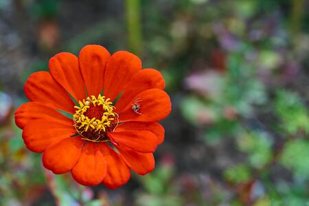 one simple and beautiful flower of red color closeup against a blurred background and one spider on the flower petal Banco de Imagens
