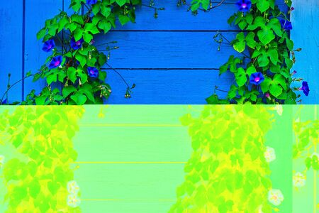 two vertical rows of green plants with blue flowers at the edges of a shield of wooden blue boards Banco de Imagens