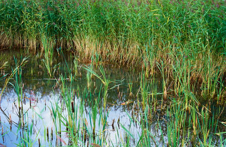 marsh landscape with lake or pond and reed thickets for natural grass background on water