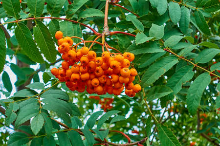 one bunch of red ripe rowan berries close-up on the background of green branches with leaves