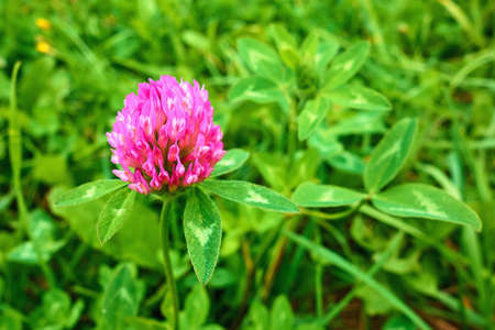 one small purple clover flower on a green meadow close-up Stock fotó