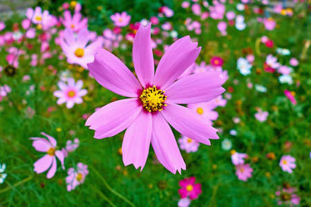 large flower pink cosmea on a blurred background of other flowers Stock fotó