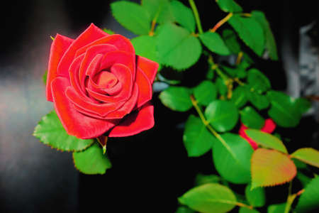 one flower of a beautiful red rose with a green branch and on a blurred background Stock fotó