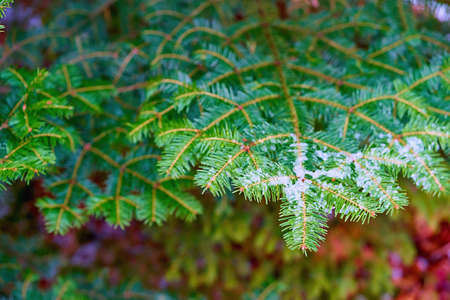 green coniferous branches close-up with ice or white snow and on a blurred background
