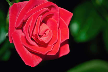 one large flower of beautiful red rose close-up on a blurred background with green leaves