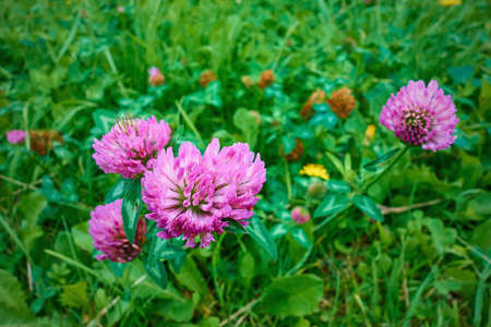 small purple clover flowers on a green meadow close-up Stock fotó