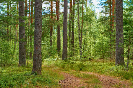 beautiful forest landscape in summer for natural background or wallpaper Stock fotó