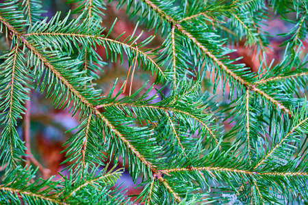 green coniferous branches close-up with drops of ice and on a blurred background