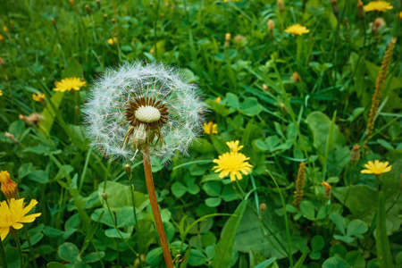 one white dandelion flower with flying guns in a green meadow close-up Stock fotó