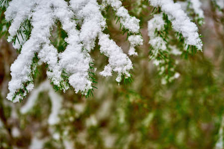 green coniferous branches close-up with white snow on a blurred green background
