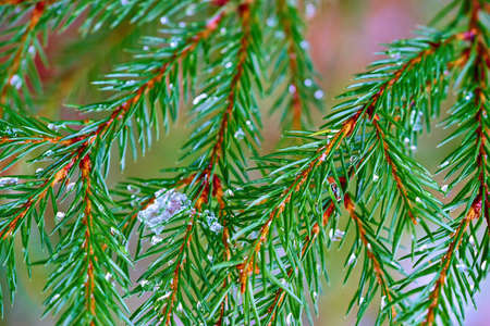 green coniferous branches close-up with ice and on a blurred background