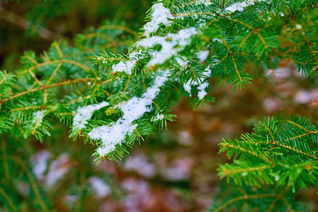 green coniferous branches close-up with white snow on a blurred background