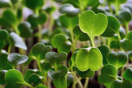 small green spinach leaves closeup for abstract natural background Stock Photo