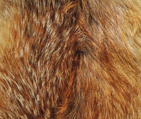 fox fur: Texture of fox fur