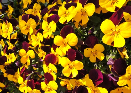 Colorful viola flowers in garden photo