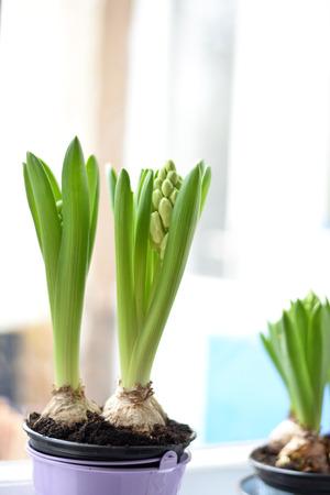 hyacinth: Beautiful hyacinth Stock Photo