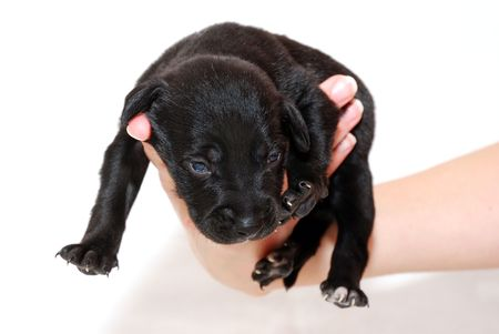 heartbreaking: Black puppy on a hand Stock Photo