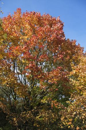 Autumn deciduous tree