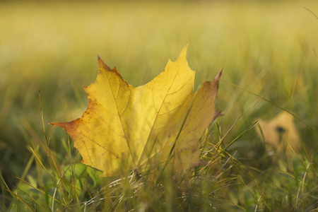The yellow autumn leaf of a tree which has fallen to a grass