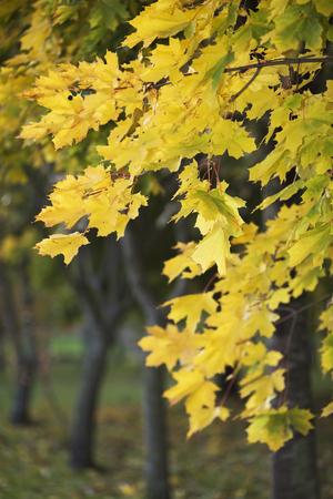 Yellow autumn foliage on trees in the park Stock Photo