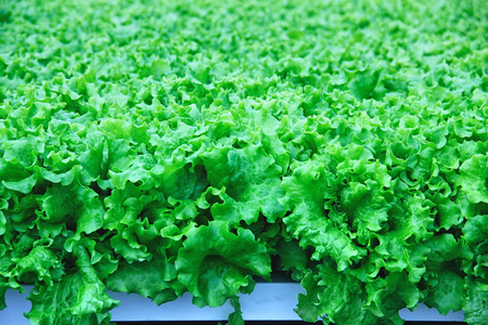 Growing lettuce in the greenhouse. 写真素材