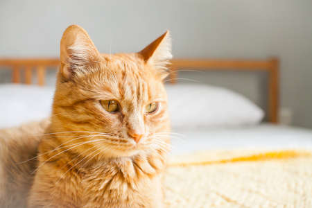 Red impudent fat cat on a knitted yellow plaid on a white bed. Copyspace