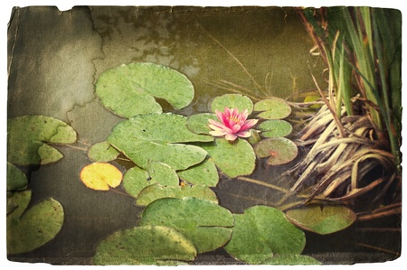 nymphaea: grunge image of a pink water lily in a pond