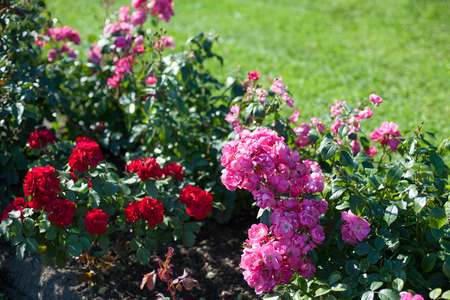 ornamental bush: Beautiful roses in a garden