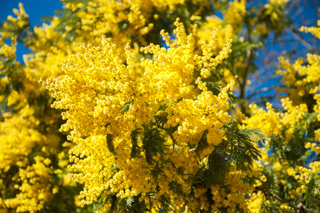 mimosa: Mimosa yellow flowers against blue sky Stock Photo