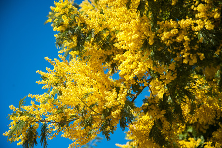 wattle: Mimosa tree with yellow flowers against blue sky