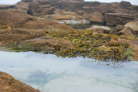 Sescape with seaweeds on the rocks. Coastline of the Atlantic Ocean at low tide in a fog Stock Photo