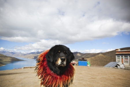 tibetan mastiff with lake yamdrok yumtso in the background Stock Photo - 9070289