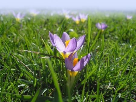 Lila kárpáti sáfrány virágok, tavaszi sáfrány,