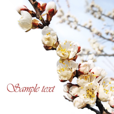 Flowers of the apricot blossoms on a spring day isolated over white.