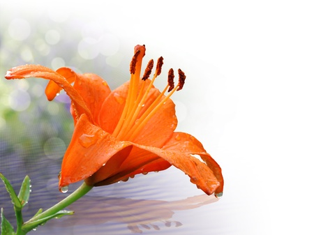 Orange lily in close-up with water drops, isolated on white, with shadow reflected on the water.