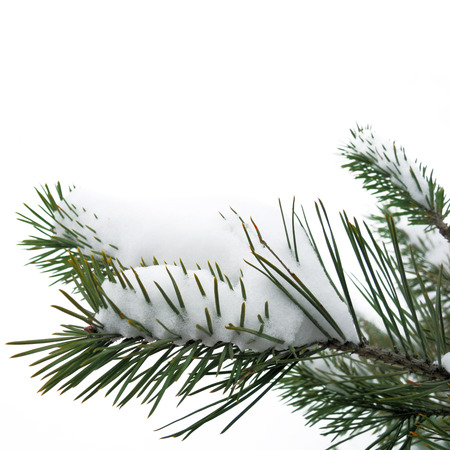 Christmas winter snowy background with spruce branch Stock Photo - 23480654