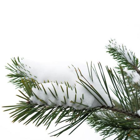 Karácsonyi téli havas háttér lucfenyő ág